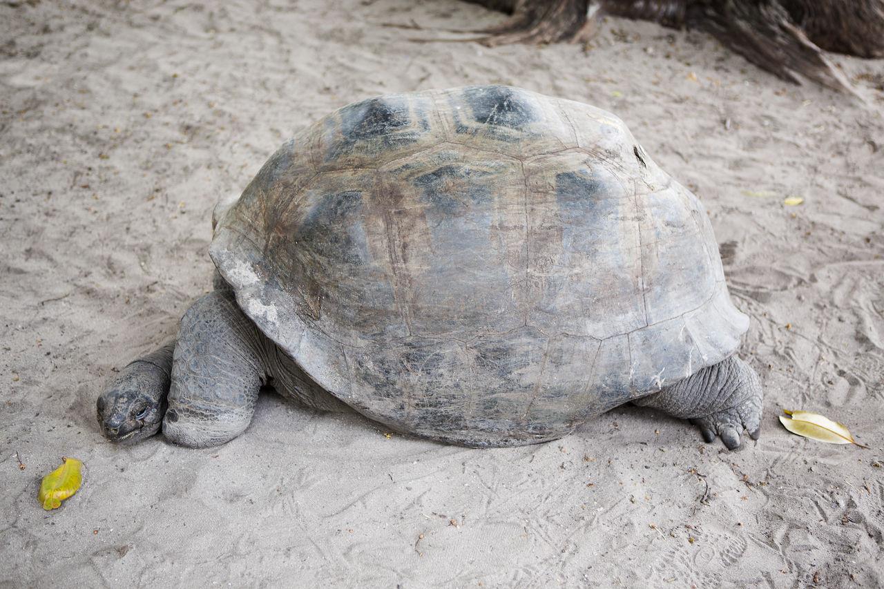 Animal Animal Welfare Curieuse Island Giant Tortoise Reptile Seychelles Tortoise