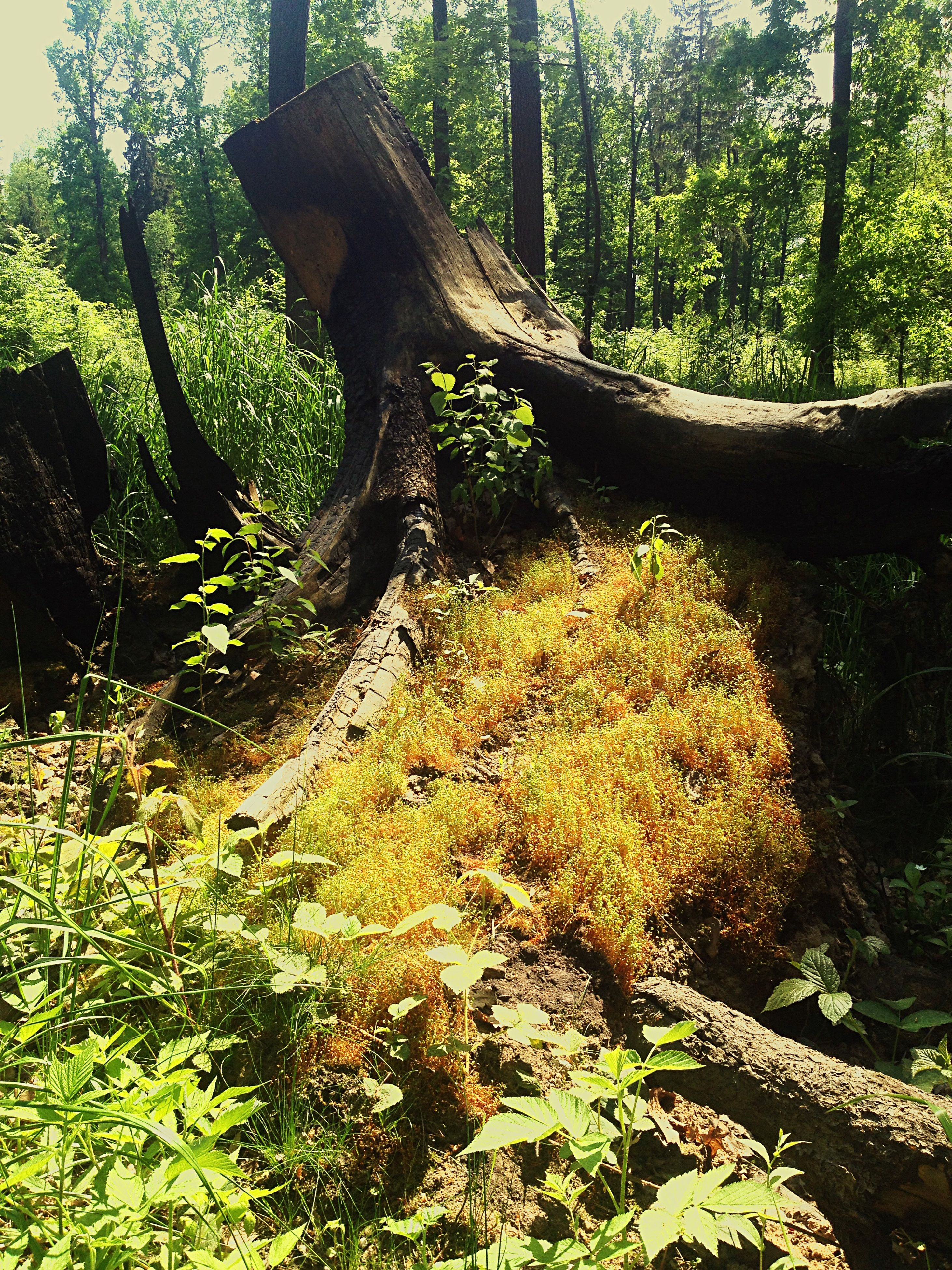 tree, tree trunk, nature, growth, forest, tranquility, day, outdoors, no people, branch, beauty in nature, scenics, dead tree