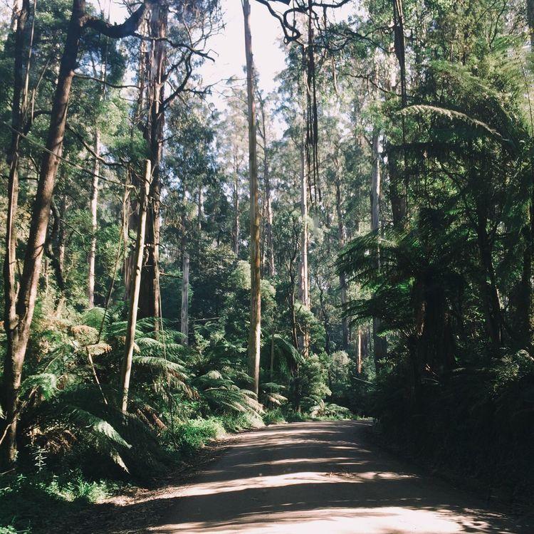 Forest Mountain Ash Road Dandenong Ranges Eucalyptus Driving Trees Nature Landscape Australia