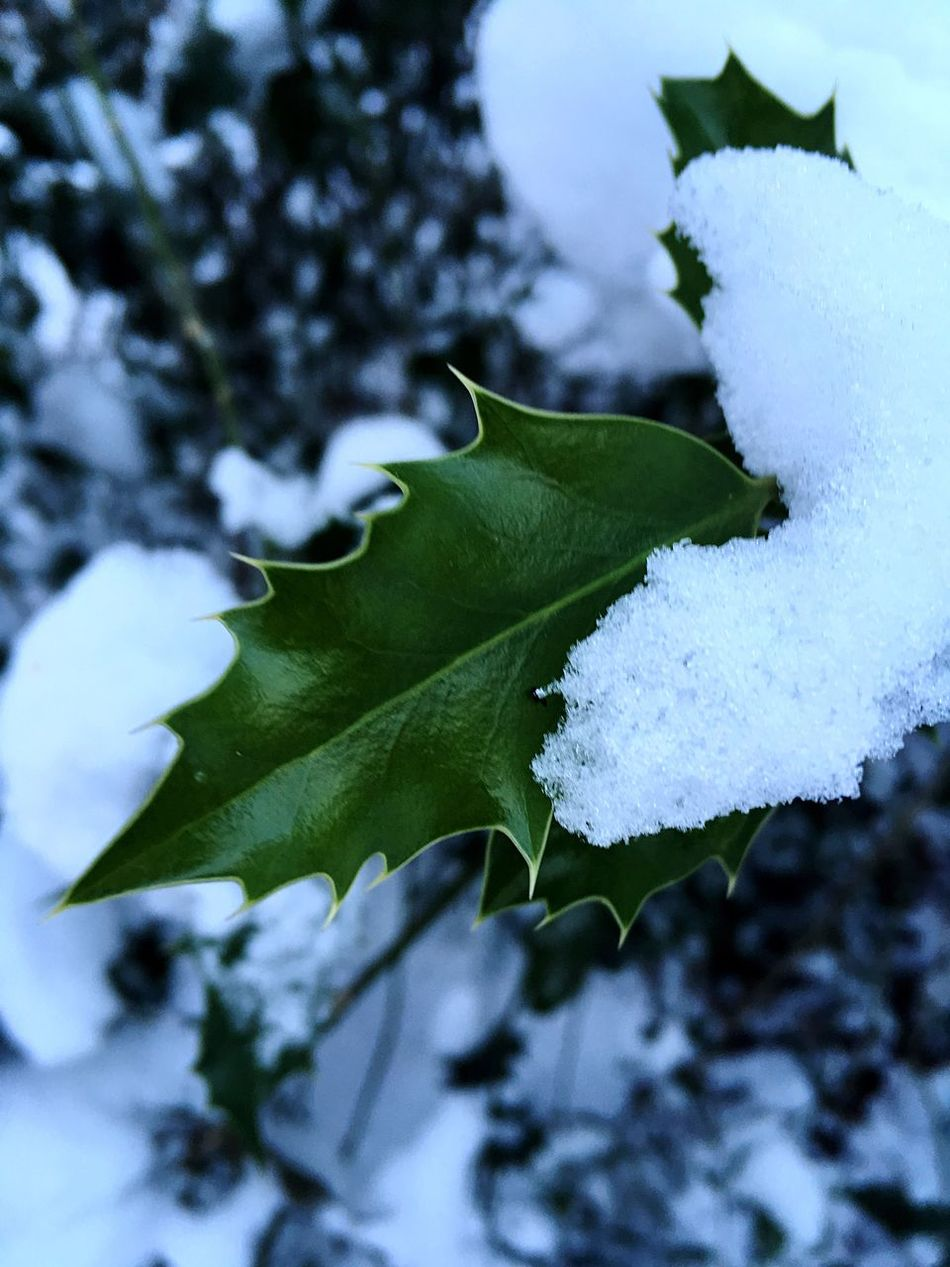 Nature Leaf Growth Close-up Beauty In Nature Outdoors Tree No People Day Freshness Plant Sky Snow Macro