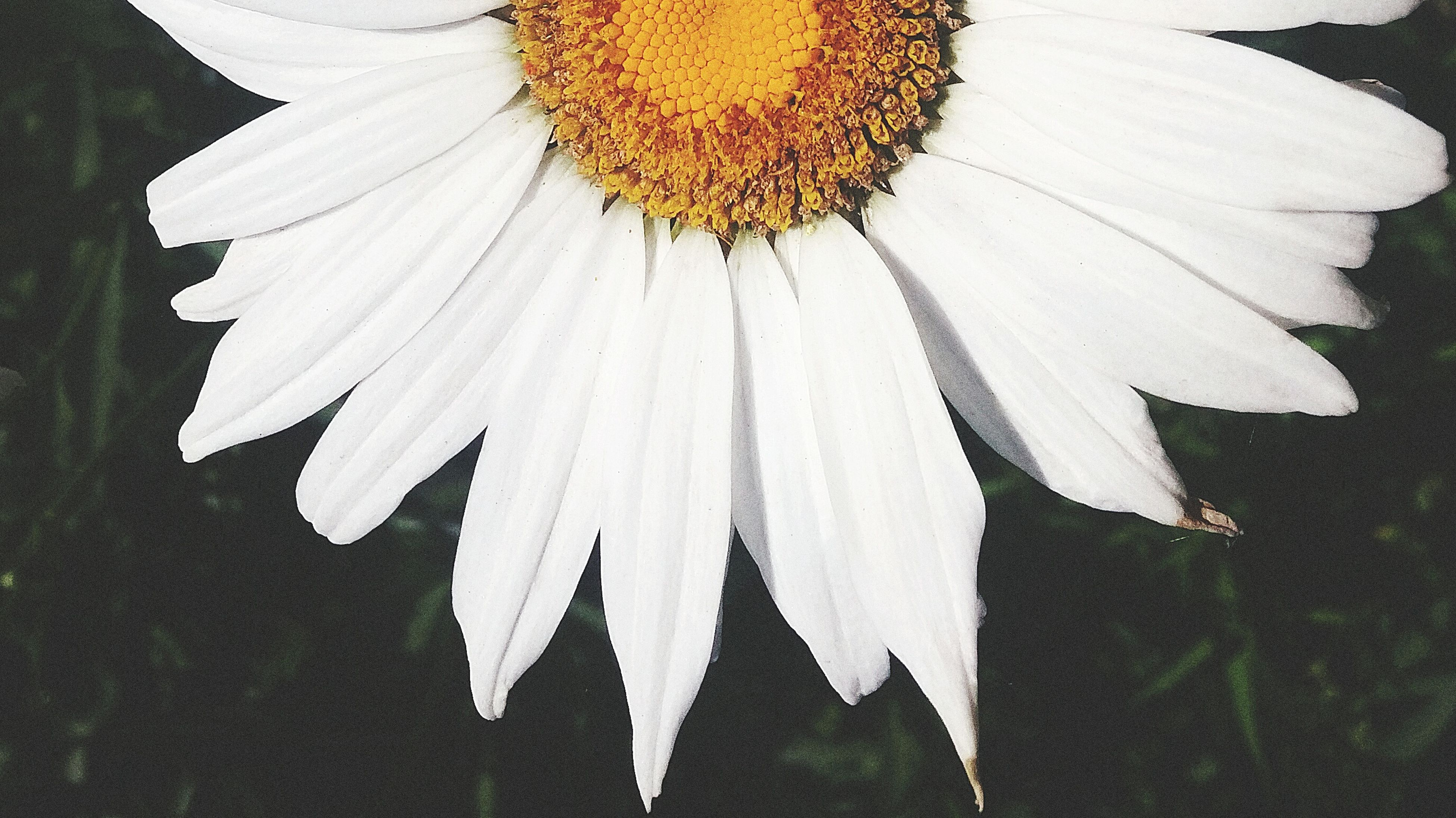 flower, petal, fragility, flower head, freshness, white color, single flower, pollen, close-up, growth, beauty in nature, nature, blooming, plant, white, focus on foreground, outdoors, day, no people, in bloom