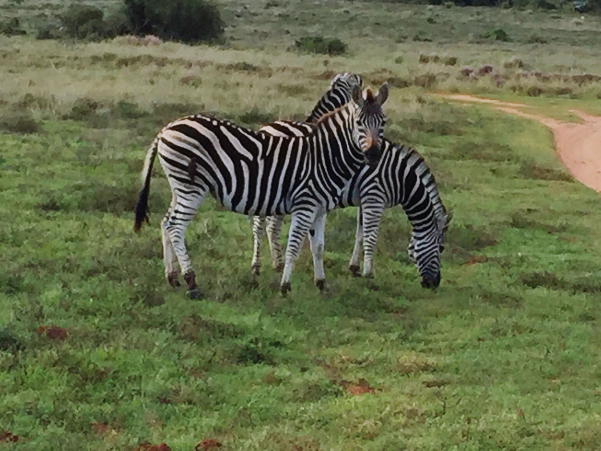 IPhoneography Amakhala Game Reserve Zebra Grazing On The Plains Feeding Time Stripes Everywhere South Africa Animals In The Wild