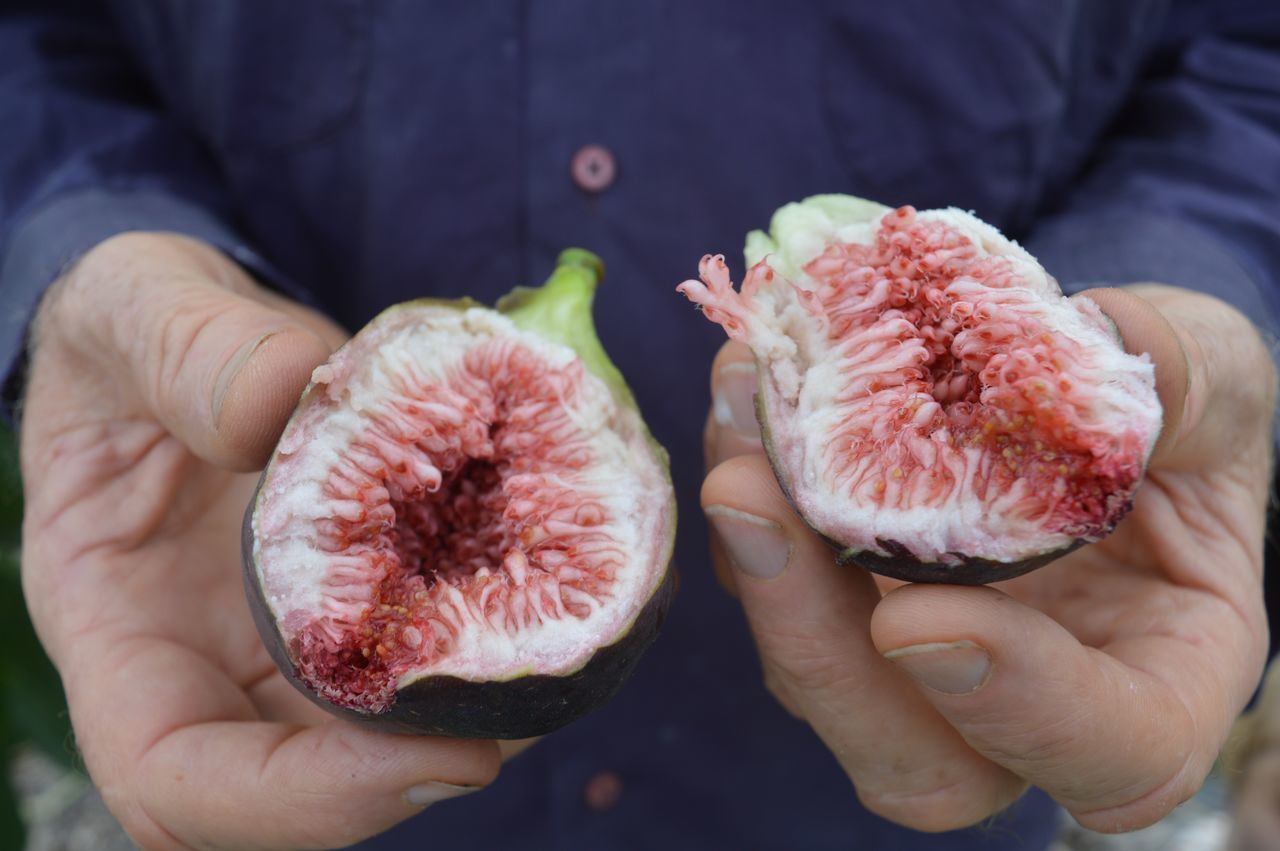man in purple shirt holding figs (hands only) Abundance Close-up Figs Freshness Fruit Full Frame Hands Healthy Eating Healthy Lifestyle Organic Purple Ripe