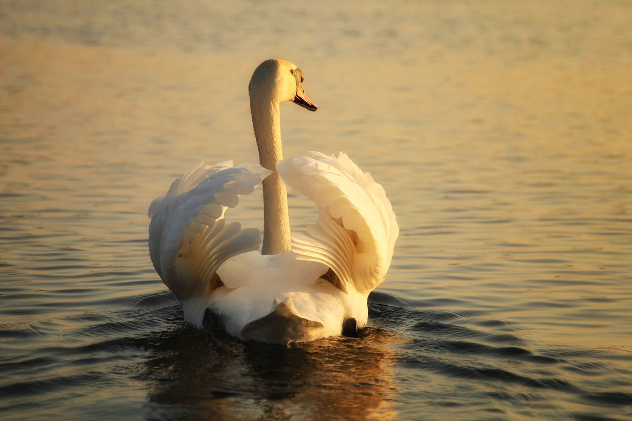 Rear View Of Swan Swimming On Rippled Lake