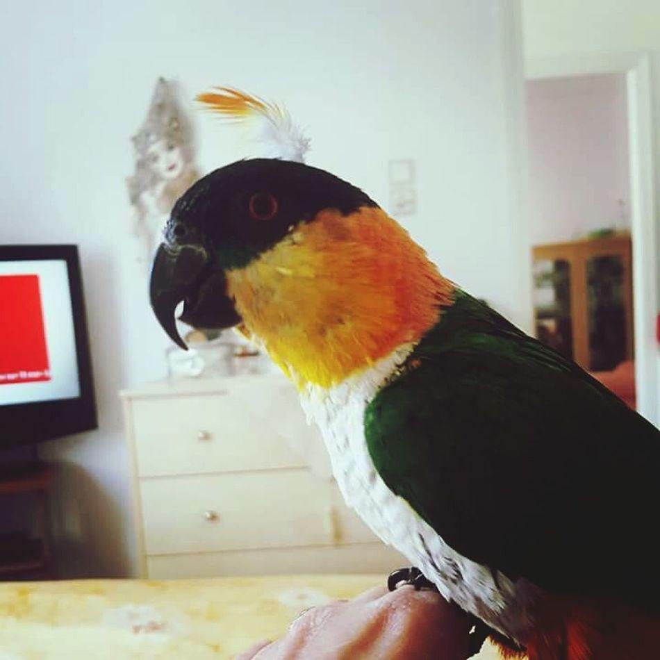 Parrot Love Parrot Life Mydevil Caique