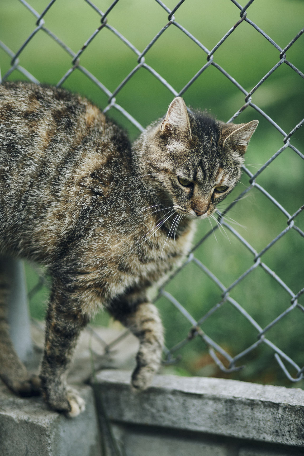 Lazy Sunday in Mielec, Poland. Animal Themes Carnivora Chainlink Fence Close-up Day Domestic Animals Domestic Cat Feline Focus On Foreground Mammal Metal No People One Animal Outdoors Pets Protection Safety Security