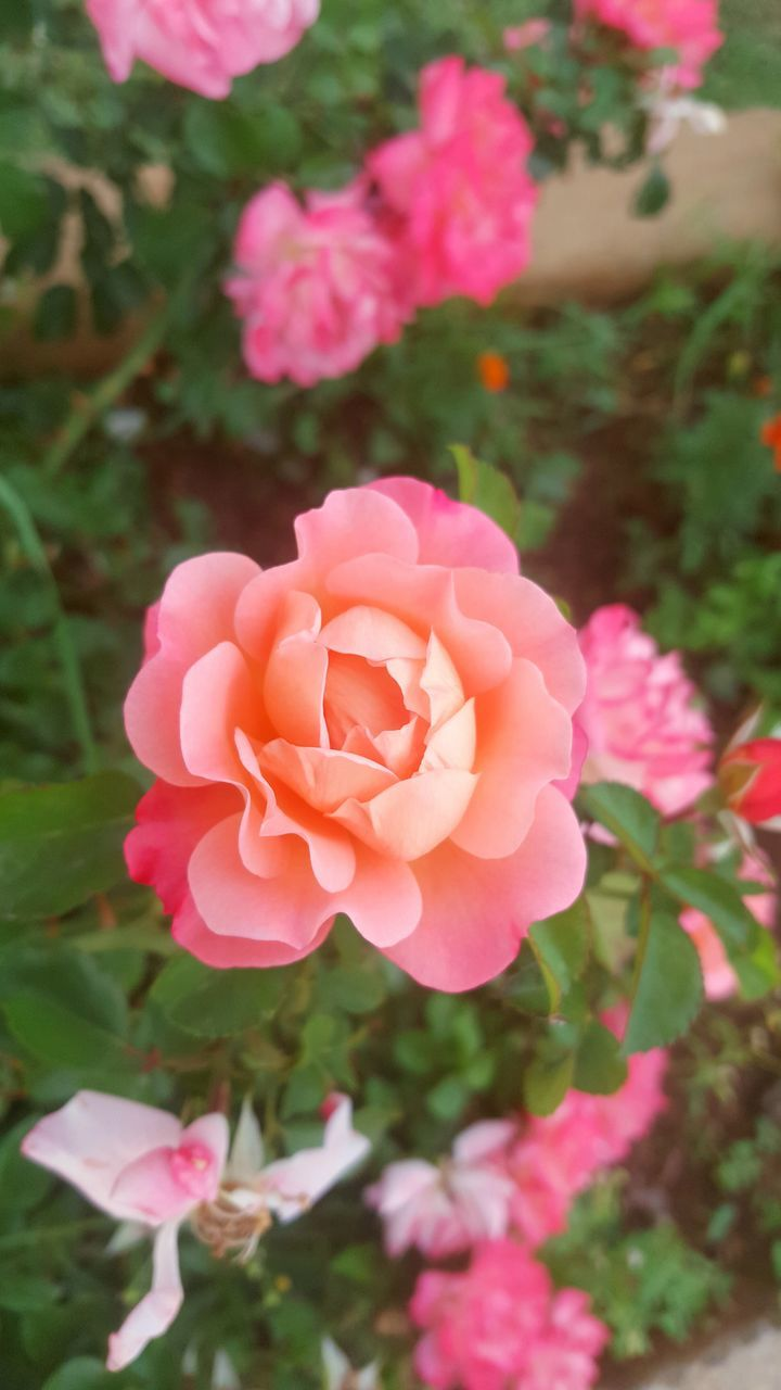 flower, petal, pink color, nature, beauty in nature, fragility, rose - flower, flower head, plant, focus on foreground, no people, blooming, freshness, day, growth, outdoors, close-up