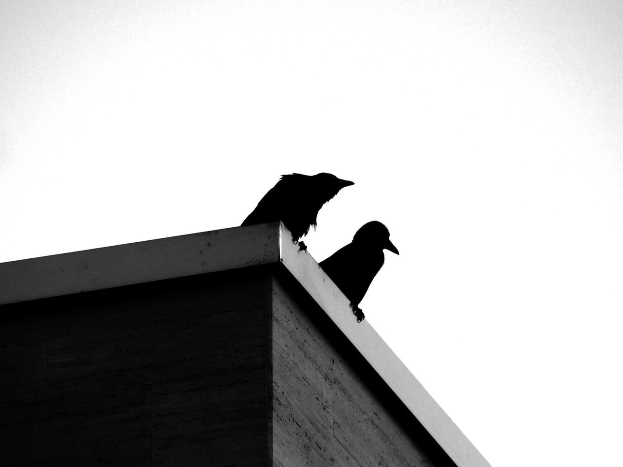 bird, animals in the wild, animal themes, low angle view, perching, animal wildlife, crow, clear sky, copy space, one animal, raven - bird, day, outdoors, no people, built structure, nature, architecture, sky