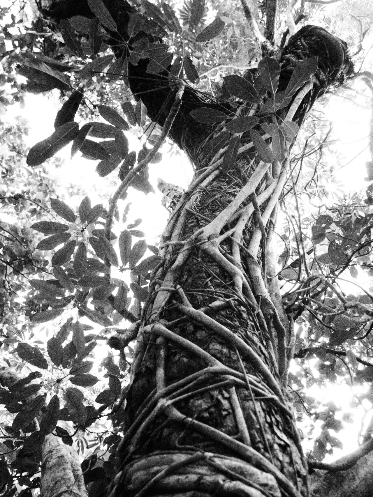 Black And White Nature Strangler Fig Tree Trunk Trees Vines Leaves Sunlight Lookingup