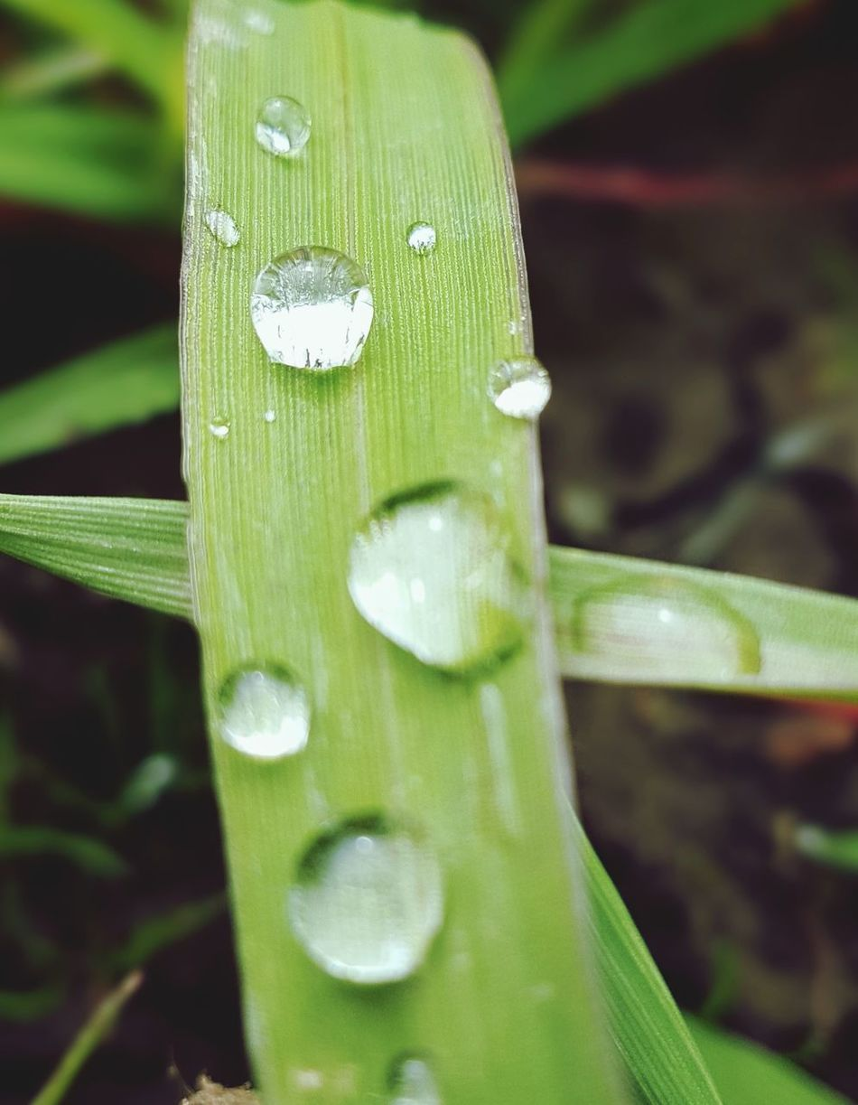 Beauty In The Smaller Things Beauty In Nature Beauty In The Mundane Beauty In Ordinary Things Dew Drops Leaf Lines Detail Nature Growth Plant Close-up Outdoors Drop Fragility No People Focus On Foreground Beauty In Nature Freshness Grass Simple Beauty Beauty In Detail Nature Is Beautiful Backgrounds Scenics Morning Dew On Leaf