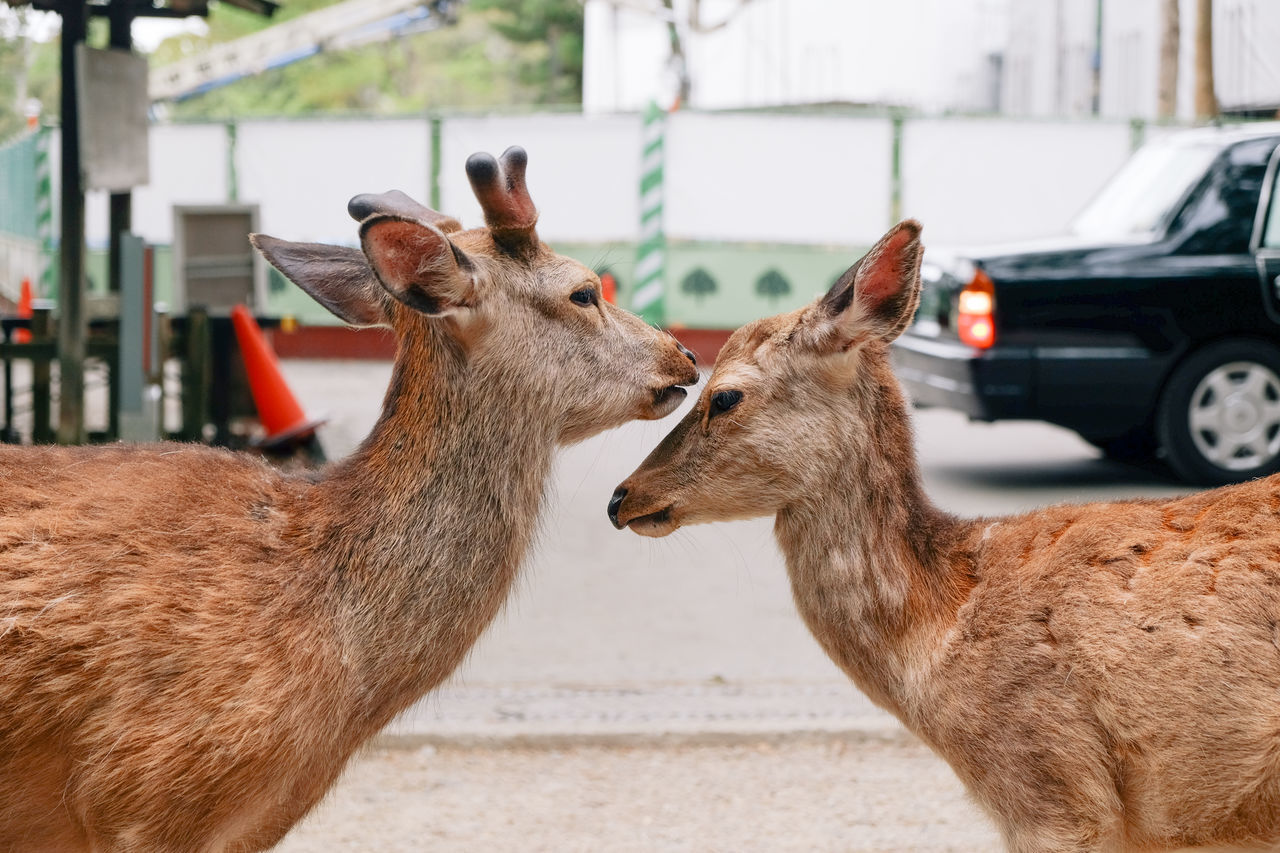 animal themes Deer fujifilm FUJIFILM X-T1 fujifilm_xseries Japan Nara Ultimate Japan VSCO vscocam