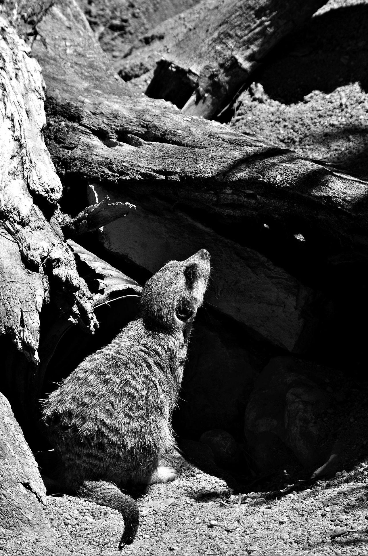 Meerkat, always alert Animal Themes Animal Wildlife Day Mammal Meerkat Nature No People One Animal Outdoors