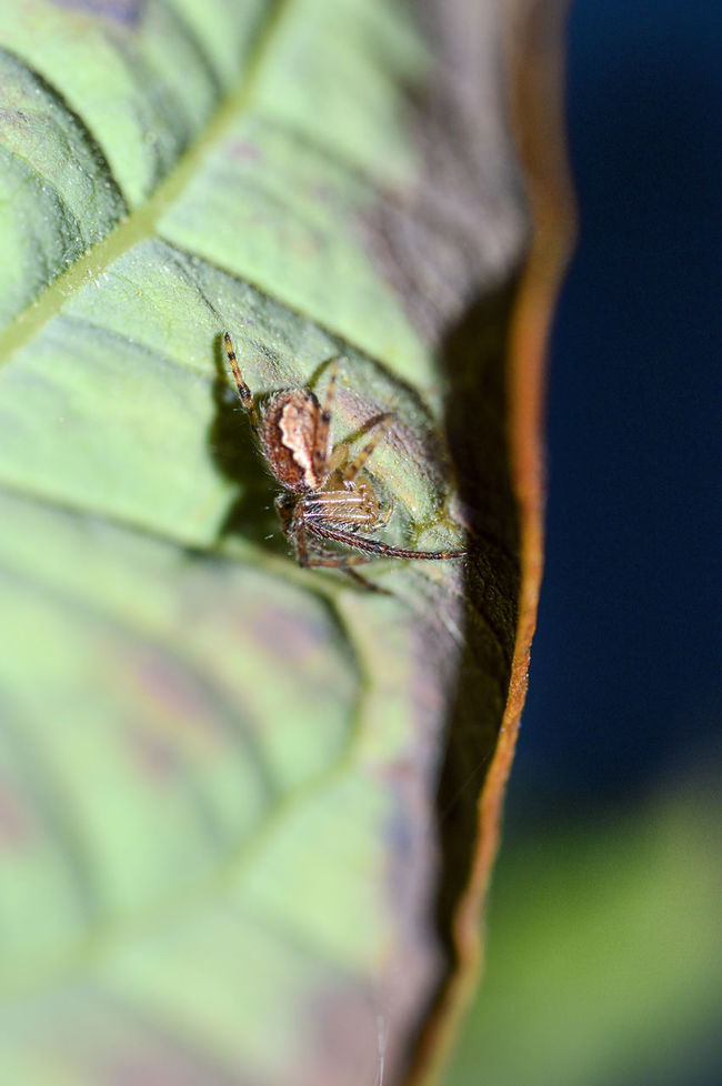 hide and seek spider Animal Eye Close-up Extreme Close-up Hiding Leaf Macro Macro Spider One Animal Selective Focus Spider Wildlife