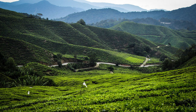 British British Colony Cameron Highlands Climate Climatechange Downhill Exploring Farmer Green Paradise Hill Views Hills Hills And Valleys Landscape Malaysia Mountain View Outdoors Pathway Tea Tea Harvest Tea Leaf Tea Plantation  Tea Production Tea Time Traveling Malaysia Travelingtheworld