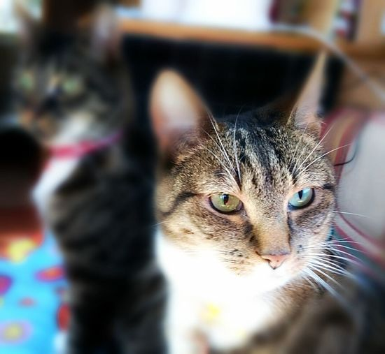 Dexter and Cookie Cats Of EyeEm Cats Tabby Cats Tom Cats Cat Brothers Pets Alertness Blurred Background