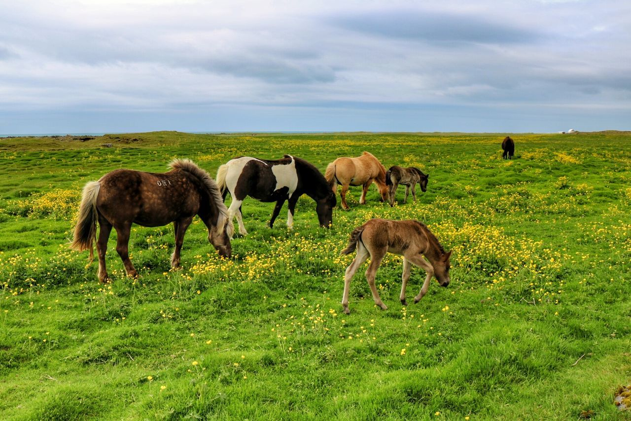 Iclandic Horses Beauty In Nature Nature On Your Doorstep Summer Time  Flowers, Nature And Beauty Beauty In Everything Beautiful Day Beauty In Ordinary Things