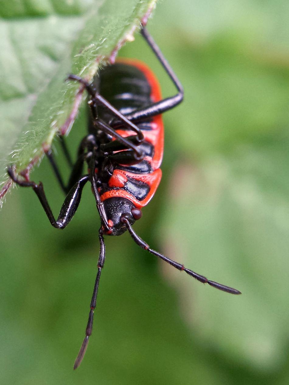 Pyrrhocoris Apterus - Serchio River Arthropoda Beauty In Nature Close-up Hexapoda Insect Insect Close-up Insect Macrophotography Insecta Nature Outdoors ınsect Macro