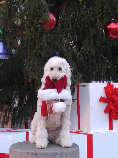 Dog Pets Christmas Domestic Animals One Animal Animal Themes Looking At Camera Mammal Portrait Pet Clothing Red Christmas Decoration No People Tree Outdoors Day Goldendoodlesofinstagram Goldendoodles Santa Hat<3(: Pet Portraits Animals Dogs Of EyeEm Dog Life