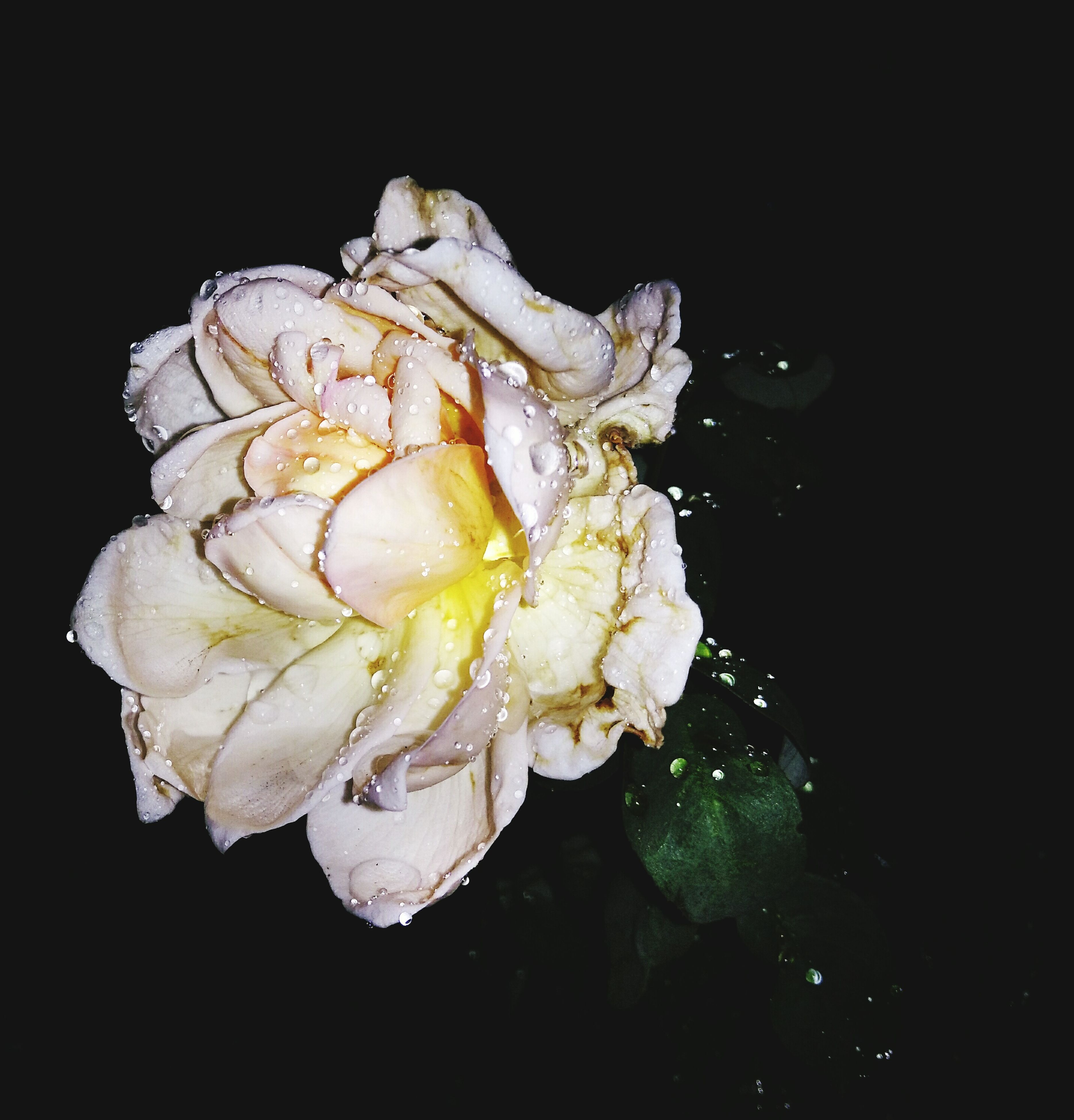 flower, freshness, black background, studio shot, petal, fragility, drop, flower head, close-up, water, beauty in nature, wet, white color, single flower, nature, night, rose - flower, copy space, dew, no people