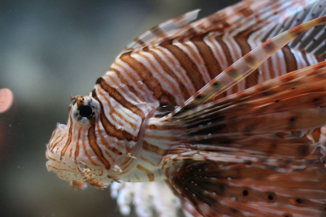 In the eye of the lion Animal Close Up Fish Lionfish Natural Pattern Ocean Underwater Water
