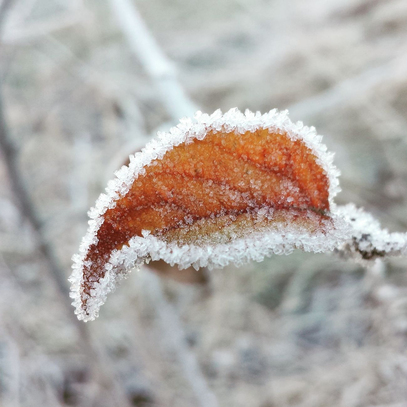 Naturelovers Nature Naturephotography Nature Naturfotografie Naturfoto Naturliebe Naturliebhaber Blatt Leave Orange Eiskristalle Icecrystalls Cold Kalt Winter Winter_collection Selfmade Pic SamsungGalaxyS4