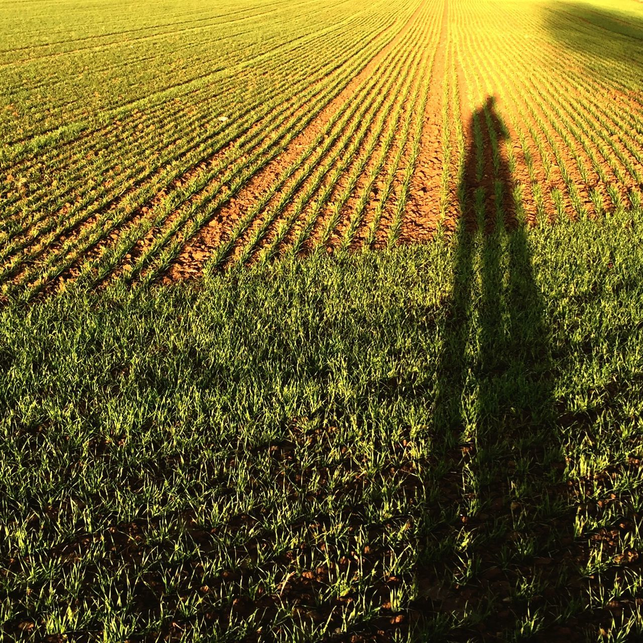 agriculture, growth, field, nature, focus on shadow, sunlight, real people, one person, shadow, outdoors, rural scene, standing, day, beauty in nature, men, working, grass, people