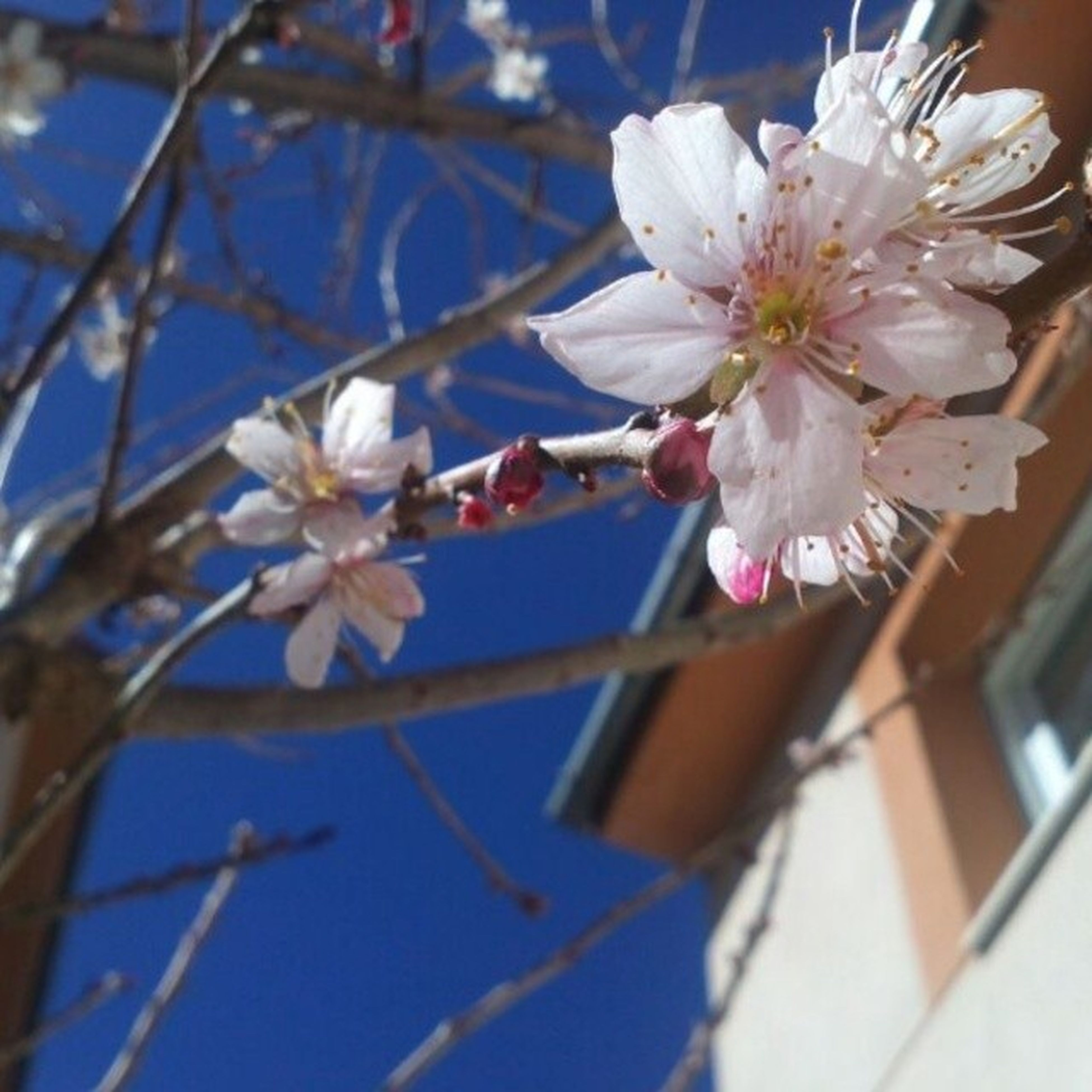 flower, freshness, fragility, petal, white color, cherry blossom, growth, branch, focus on foreground, blossom, beauty in nature, nature, blooming, close-up, flower head, in bloom, low angle view, tree, twig, pollen