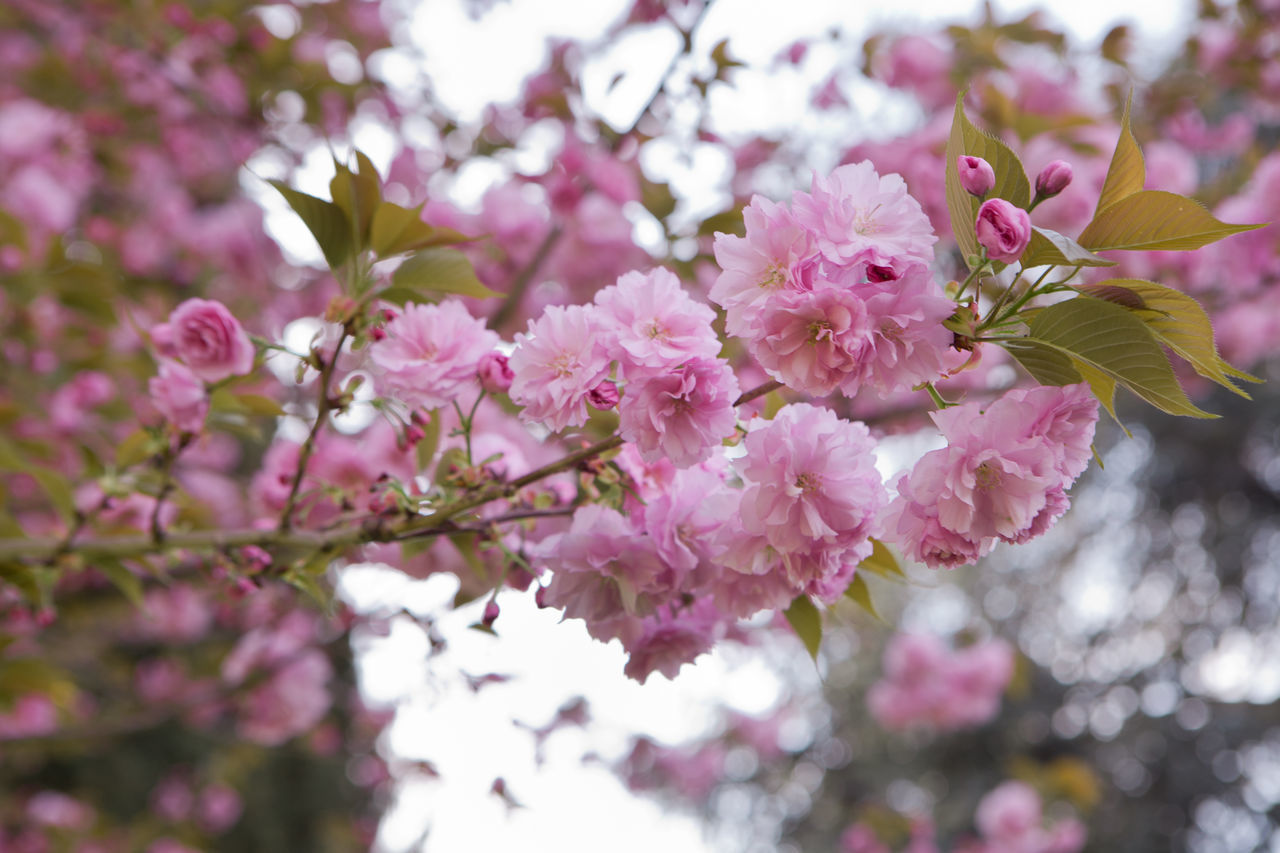 Beauty In Nature Blossom Branch Cherry Blossoms Close-up Day Flower Flower Head Fragility Freshness Growth Hanami Sakura  Low Angle View Nature No People Outdoors Petal Pink Color Plum Blossom Rhododendron Sky Springtime Tree