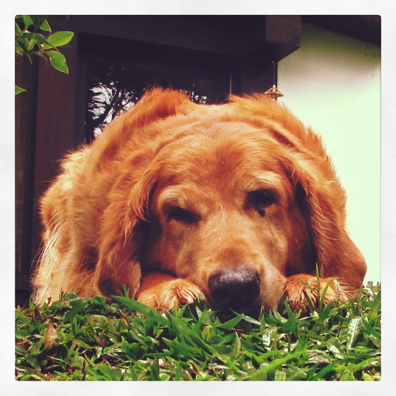 Dog Golden Retriever Close-up Brown Lying Down First Eyeem Photo