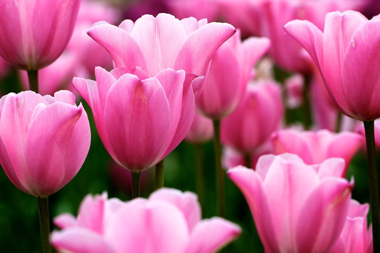 Close-Up Of Fresh Pink Tulips Blooming In Garden