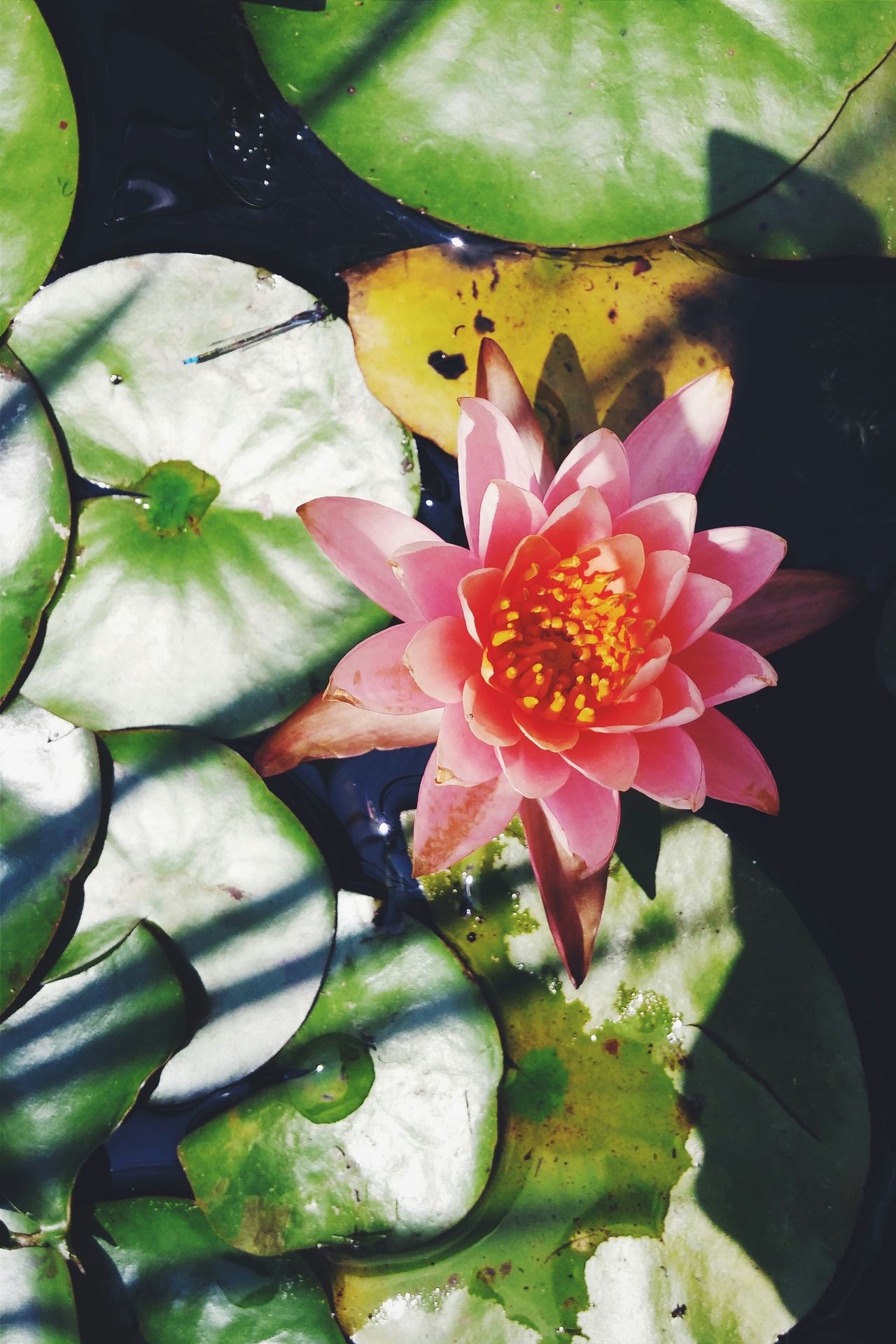 Water Lily Lotus Flower a small water lily flower Nymphaeaceae