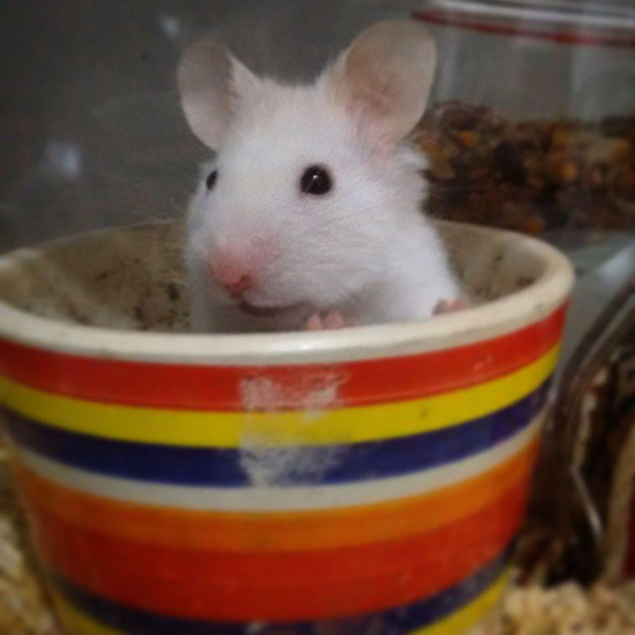 Hace mucho que no subia algo 😅 El pequeño Stuart🆒👍👌 Stuart Hamster Animals Stewie