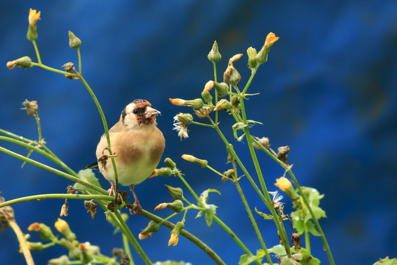 one animal, animals in the wild, animal themes, perching, animal wildlife, bird, nature, blue, day, songbird, beauty in nature, focus on foreground, no people, outdoors, great tit, close-up, sparrow, flower