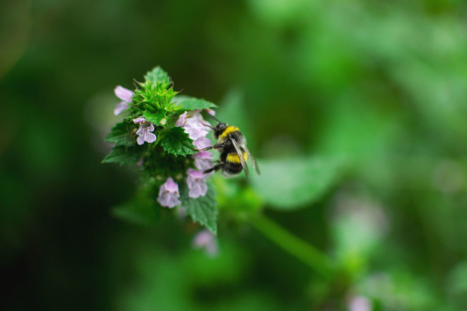 Beauty In Nature Bee Belarus Belarus Nature Bumblebee Buzzing Day Flower Flower Head Flowers Fragility Freshness Garden Green Color Growth Growth Insect Nature No People Plant Plant Selective Focus Spring Summer