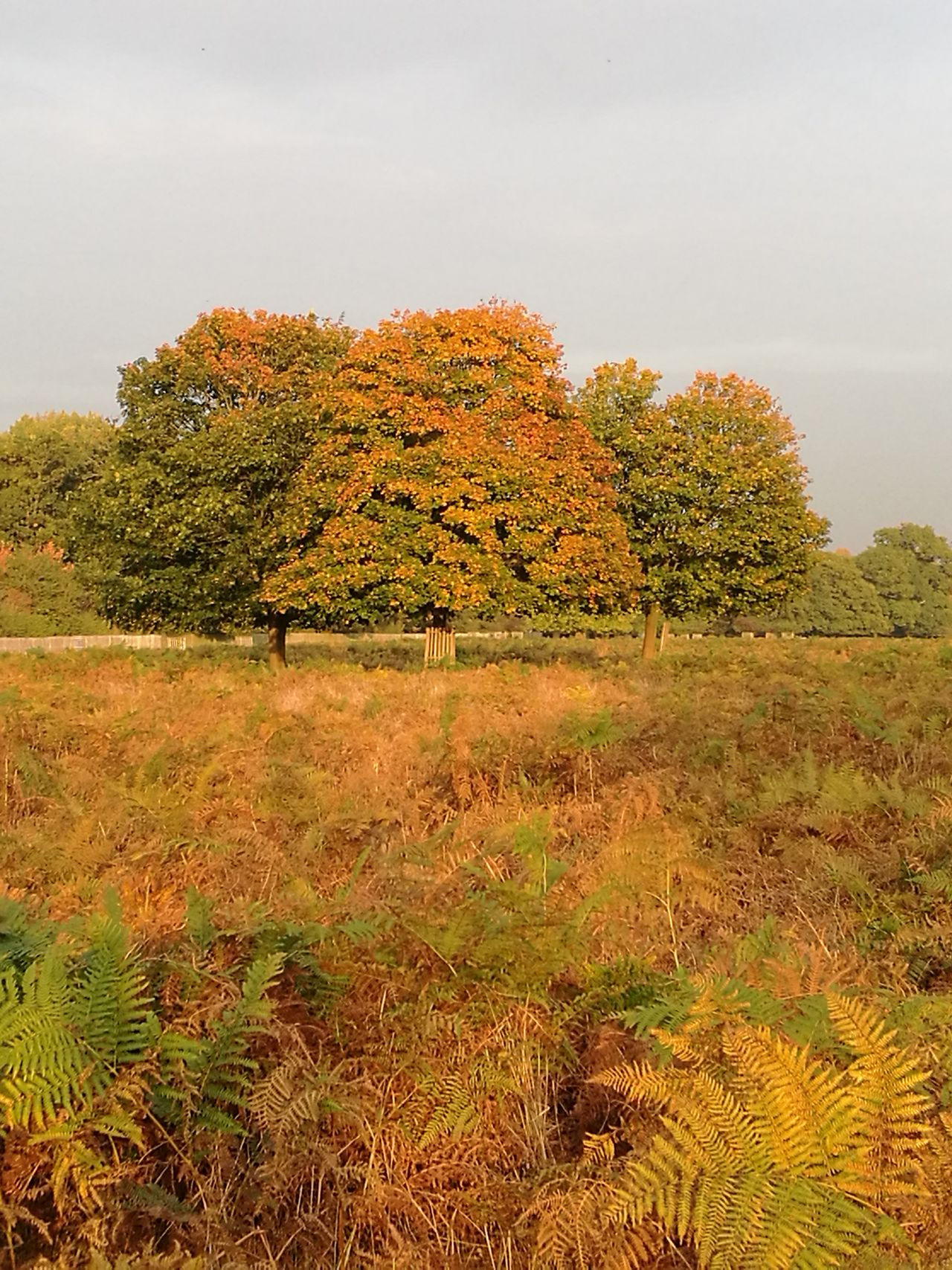 Tree Nature No People Outdoors Landscape Autumn Colours Autumn nofilternoeditNofilter Leica Lens P9 Huawei P9leica Leicaphotography Beauty In Nature Bushy Park Surrey London Royalpark