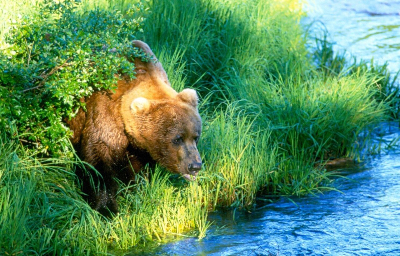 Katmai National Park Brooks Falls Grizzly Bear Bears Galore Katmai Alaska Brooks River