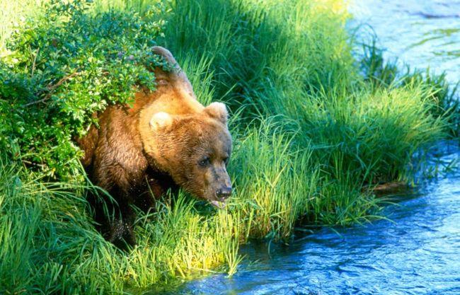 Katmai National Park Brooks Falls Grizzly Bear Bears Galore Katmai Alaska Brooks River