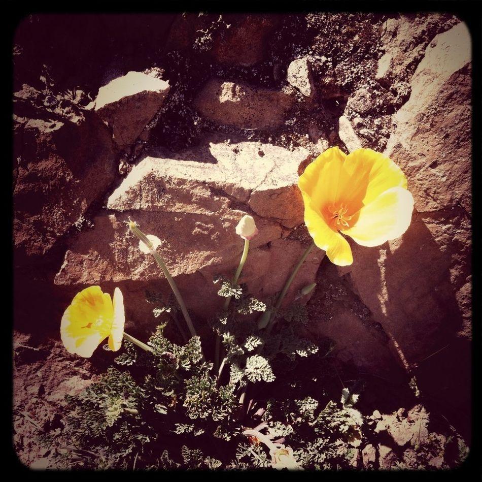 Poppy Flowers California On A Hike