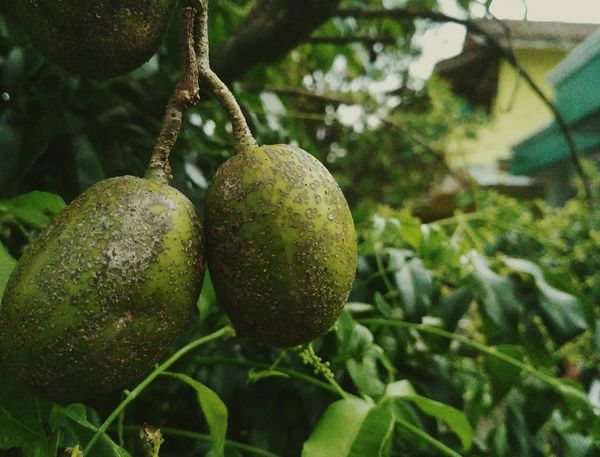 Ambarella Fruit. Fruit Food And Drink Growth Green Color Freshness Food Tree Close-up Healthy Eating Outdoors Nature Plant Beauty In Nature
