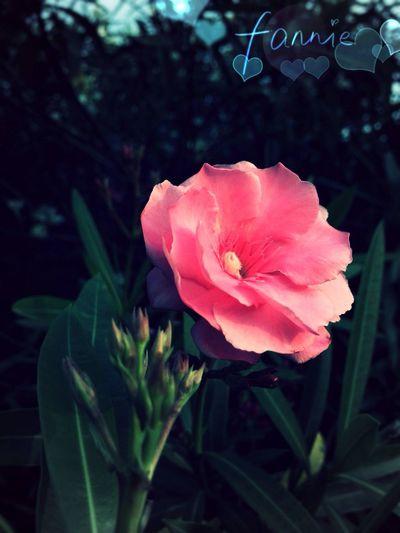 Flower Flower Collection HDR rosebay ?or Nerium Indicum Mill