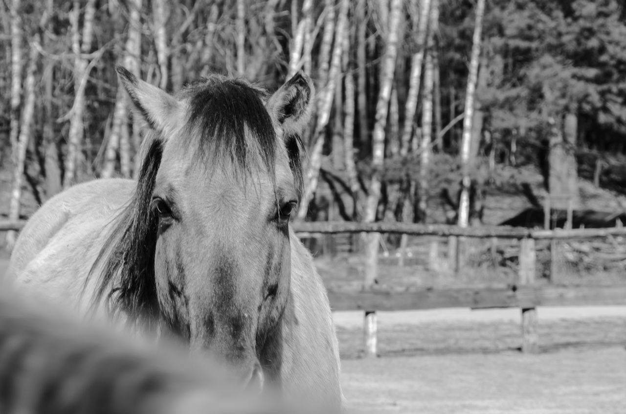 horse, domestic animals, mammal, animal themes, one animal, livestock, herbivorous, outdoors, field, day, tree, nature, no people, close-up