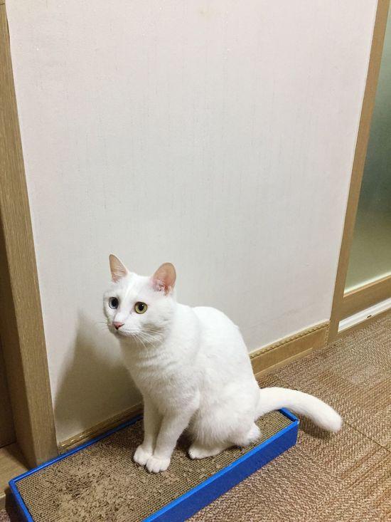 Taking Photos Cat White White Cat Turkish Angora Short Hair Odd Odd Eye IPhoneography