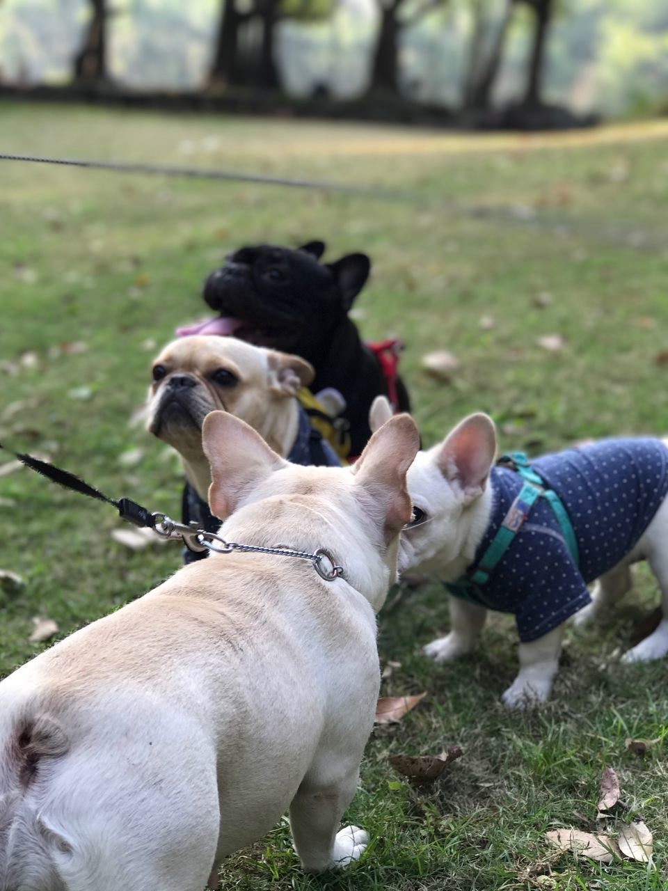 dog, domestic animals, pets, mammal, animal themes, pet collar, one animal, pet leash, day, outdoors, grass, real people, nature, close-up