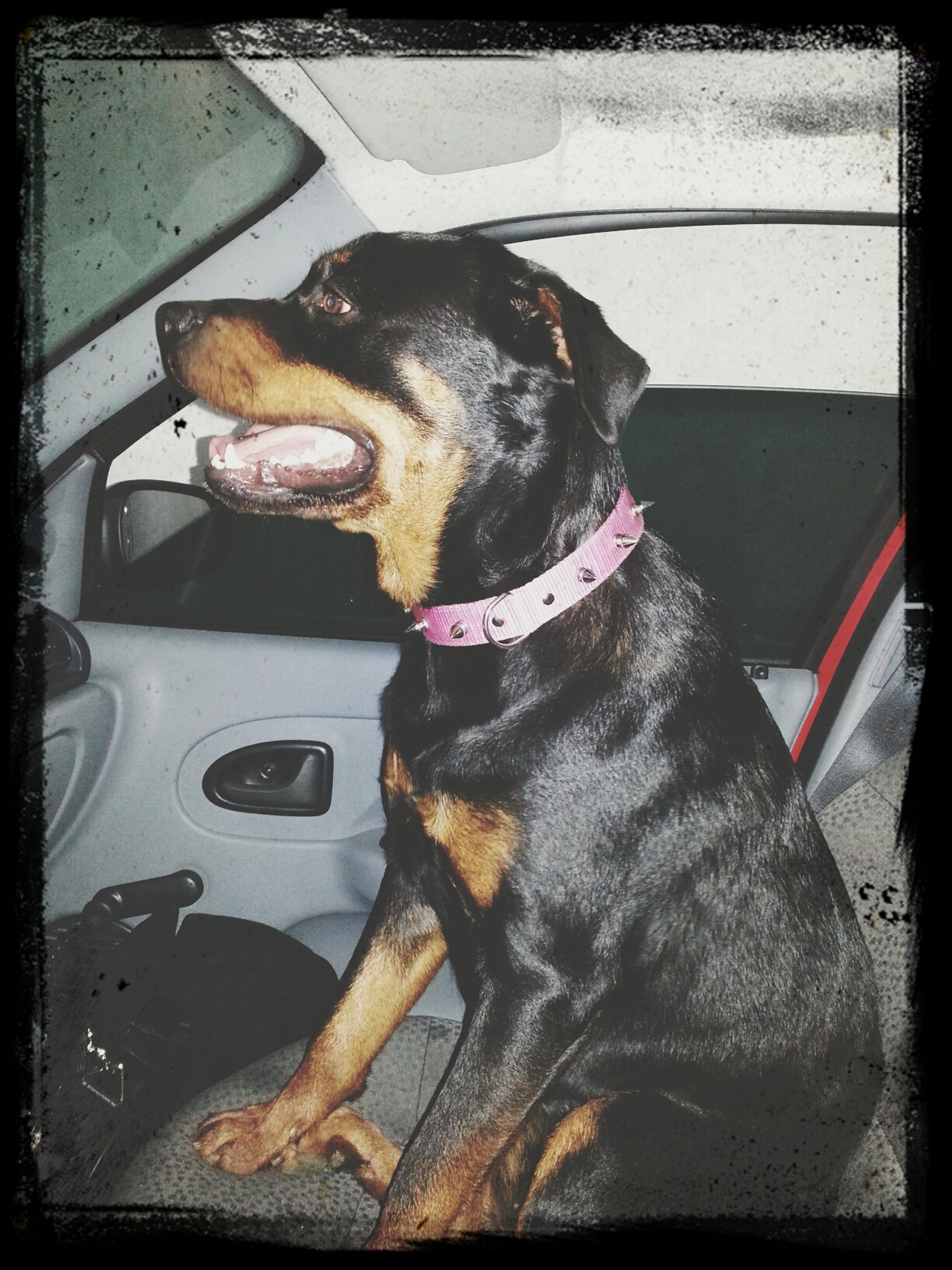 transfer print, domestic animals, one animal, pets, auto post production filter, mammal, animal themes, dog, car, land vehicle, transportation, mode of transport, indoors, animal head, close-up, sitting, car interior, looking at camera, day, pet collar