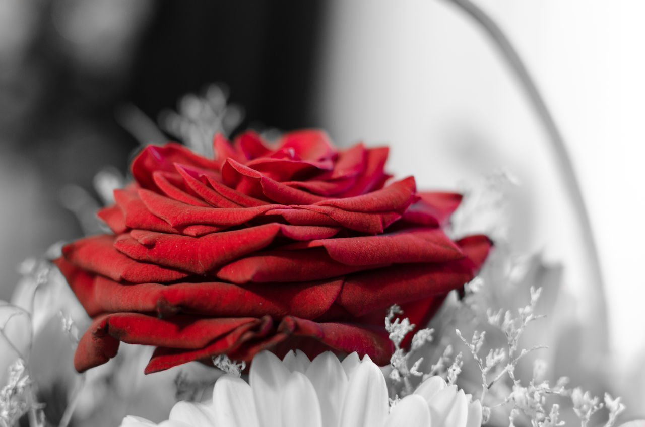 flower, petal, red, freshness, flower head, fragility, rose - flower, nature, beauty in nature, no people, close-up, growth, rose petals, indoors, day