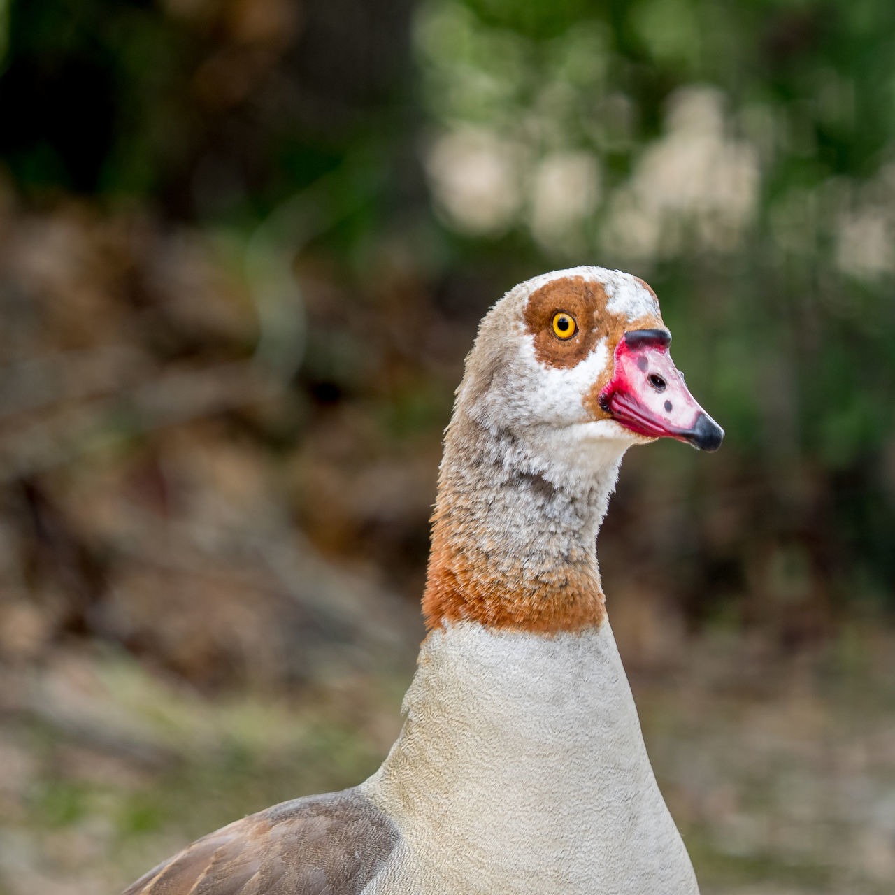 Egyptian Goose 1 Animal Themes Animal Wildlife Animals In The Wild Bird Close-up Day Egyptian Goose No People One Animal Outdoors
