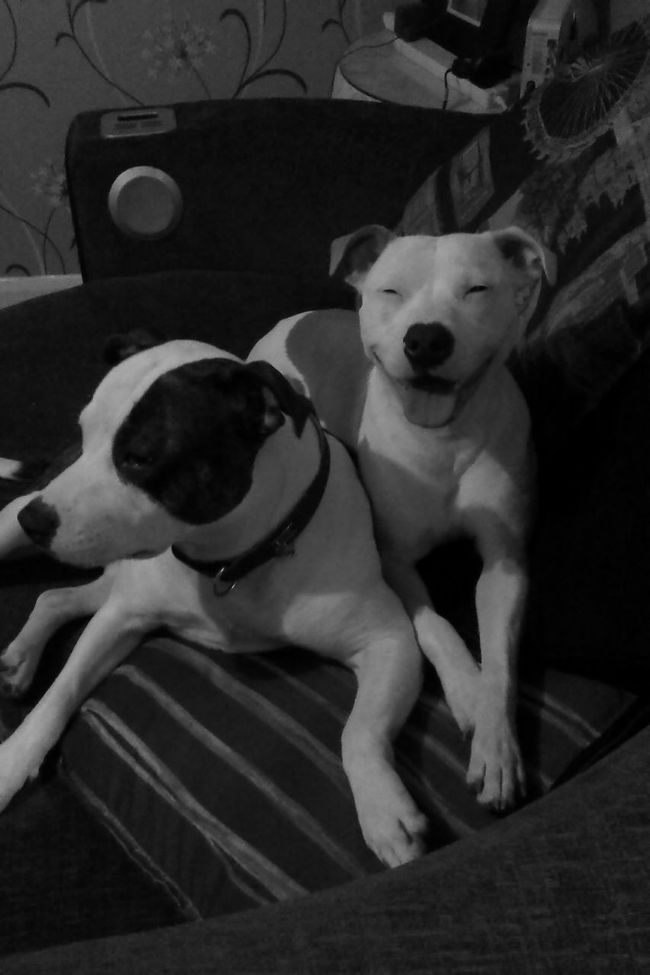 Father And Son Daddy And Son Staffy Staffylovers Staffysofinstagram Staffyoftheday Staffyuk Staffygram Staffordshire Bull Terrier Dog Domestic Animals Pets One Animal Animal Themes Mammal Loyalty Pampered Pets Zoology Animal No People