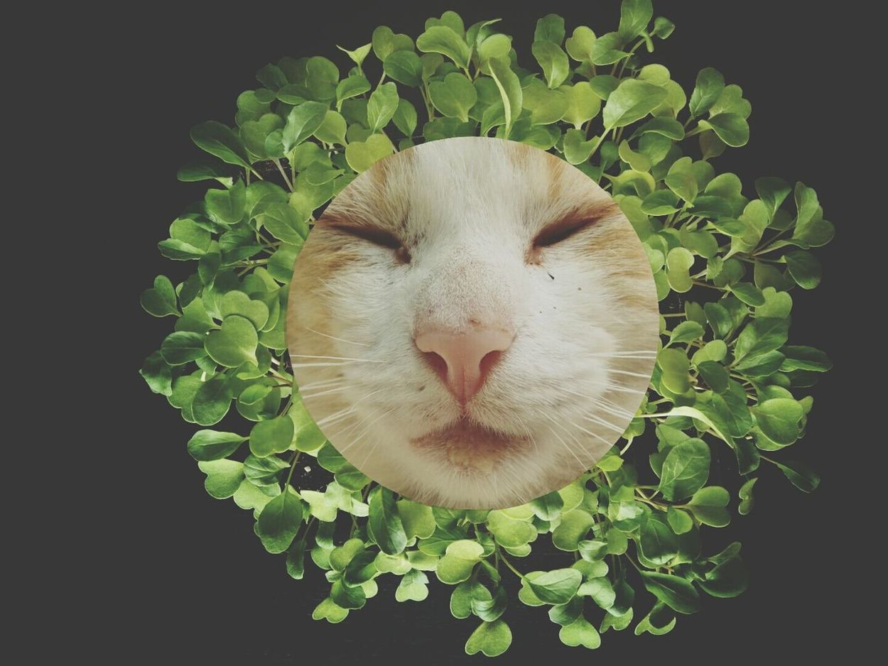 Collage Collage Photography Cat Cats Of EyeEm Catportrait Animal Portrait Green Leaves Growing Plants Mane Closed Eyes Cat Photography Cat Close Up Cut And Paste Collage Art Green Color Greenery Nature Portrait Growth Growing Plant From Seed