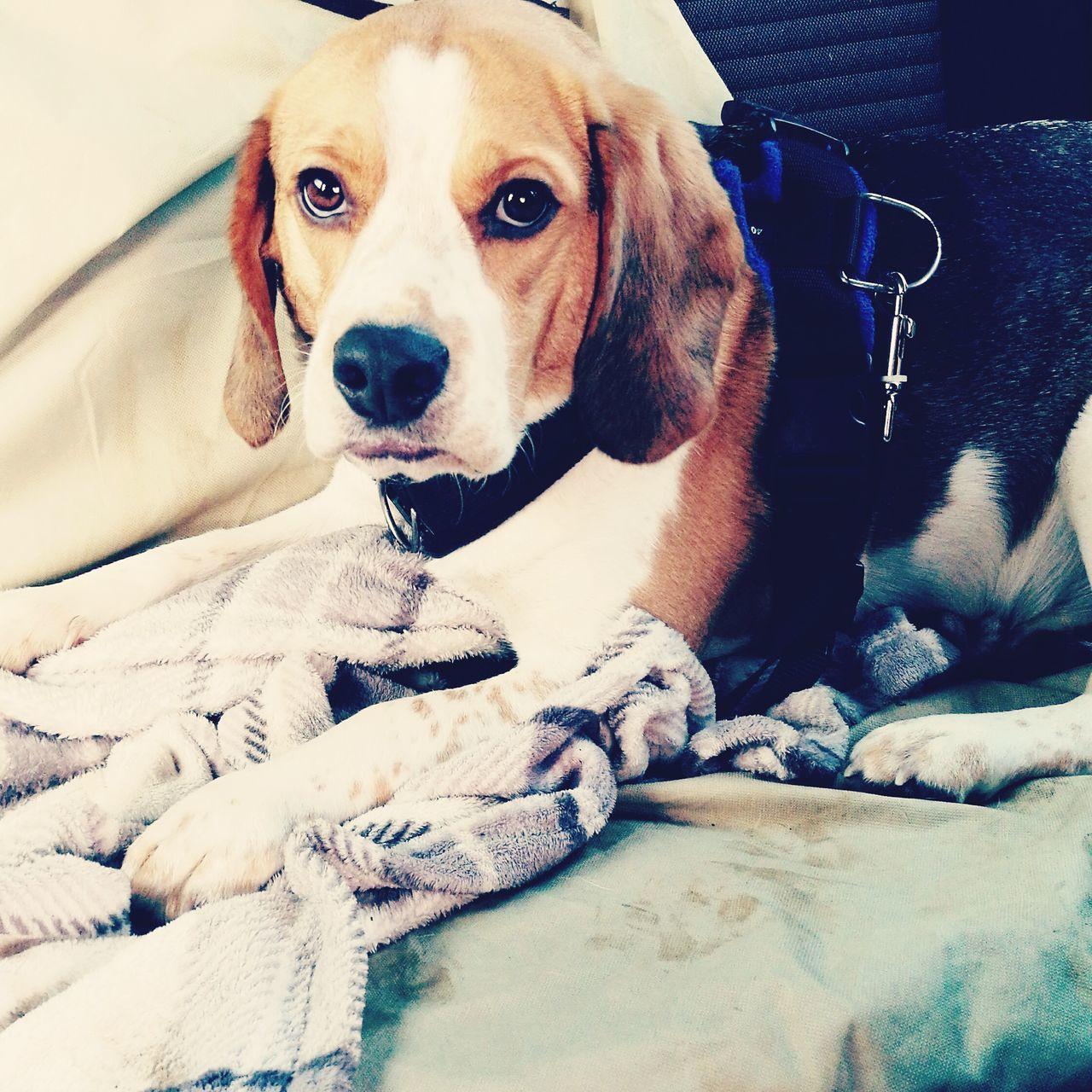 Sleepy beagle Dog Beaglelove Beagle