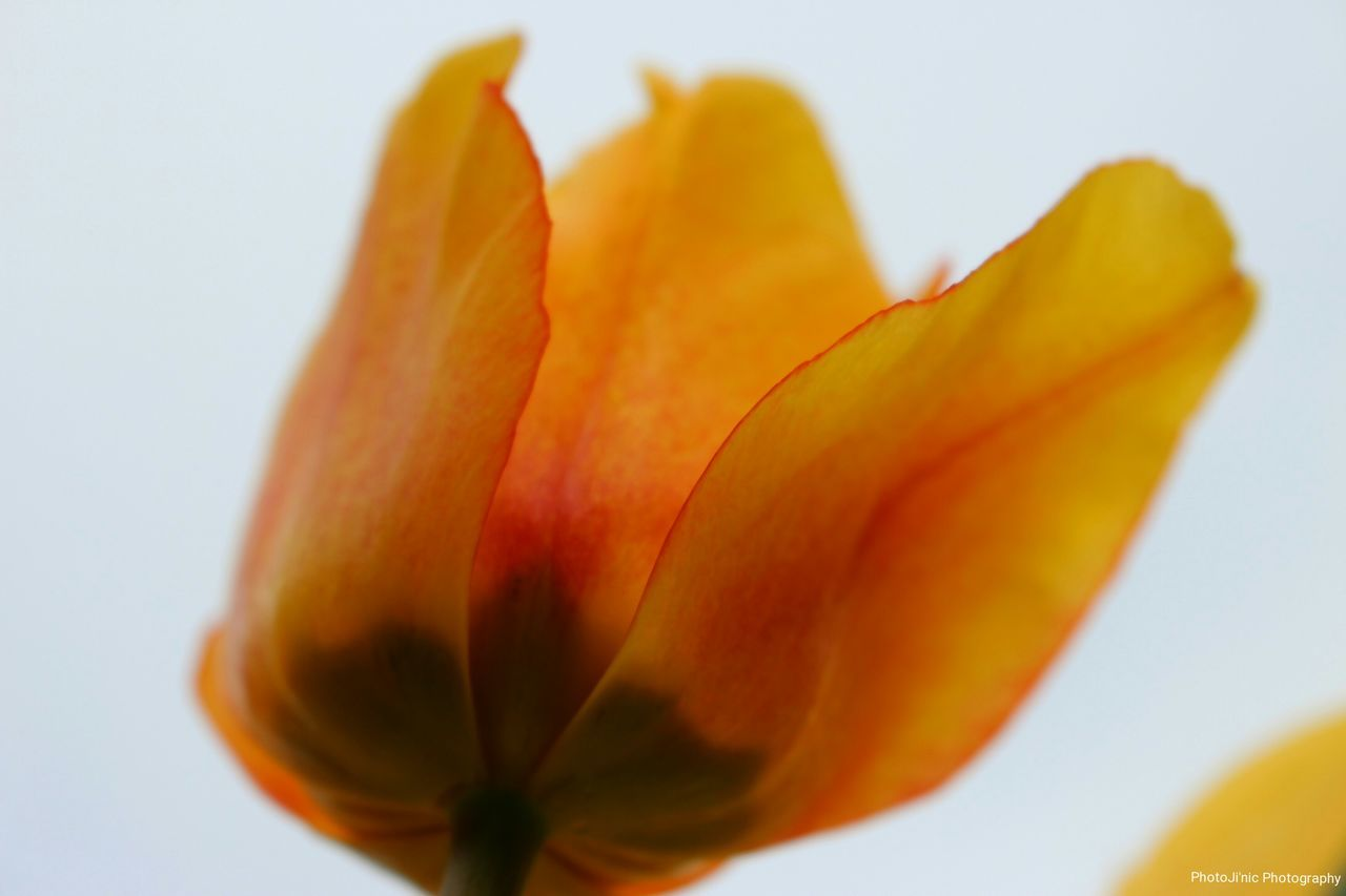 flower, petal, fragility, beauty in nature, freshness, flower head, nature, orange color, close-up, no people, growth, white background, blooming, plant, studio shot, day, outdoors, sky